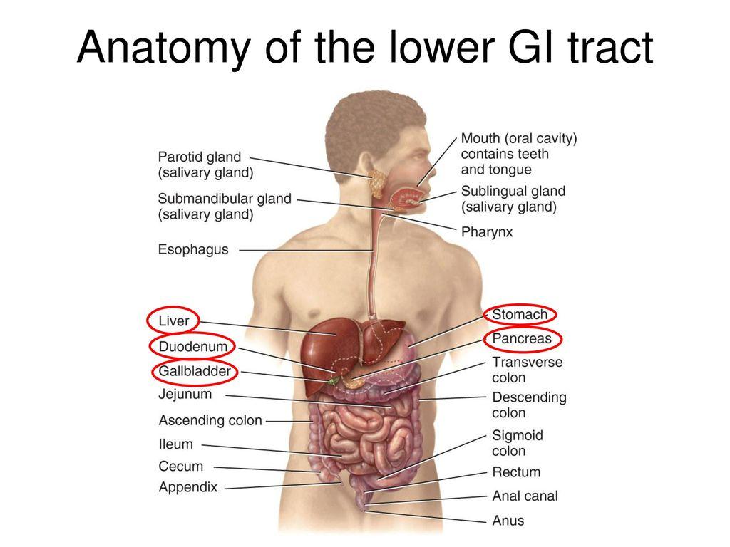 Gi Tract Anatomy Choice Image - human body anatomy