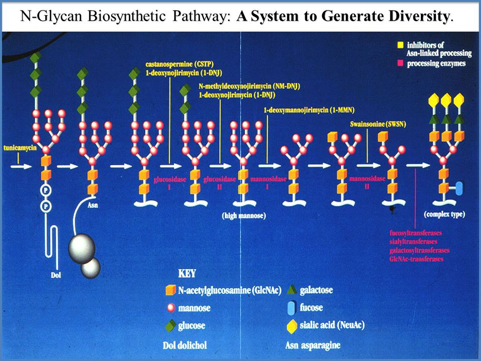 N-Glycan Biosynthetic Pathway: A System to Generate Diversity.