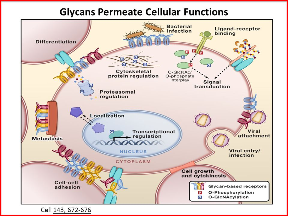 Glycans Permeate Cellular Functions