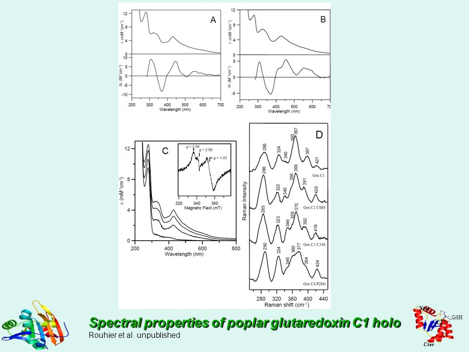 Spectral properties of poplar glutaredoxin C1 holo