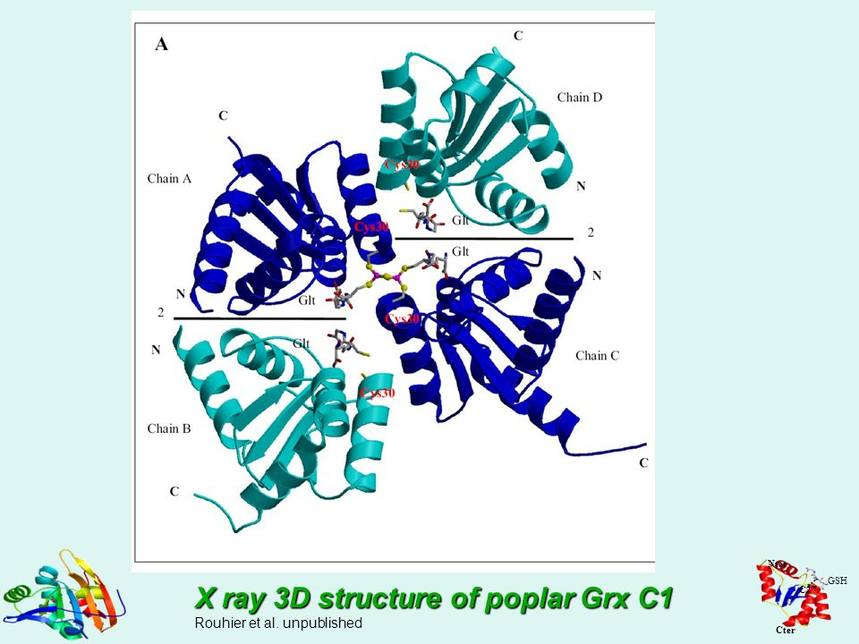 X ray 3D structure of poplar Grx C1
