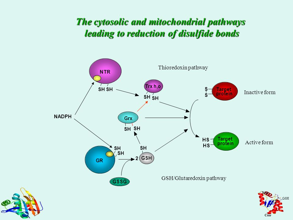 The cytosolic and mitochondrial pathways