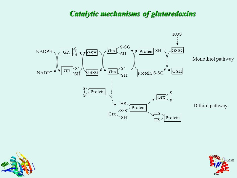 Catalytic mechanisms of glutaredoxins