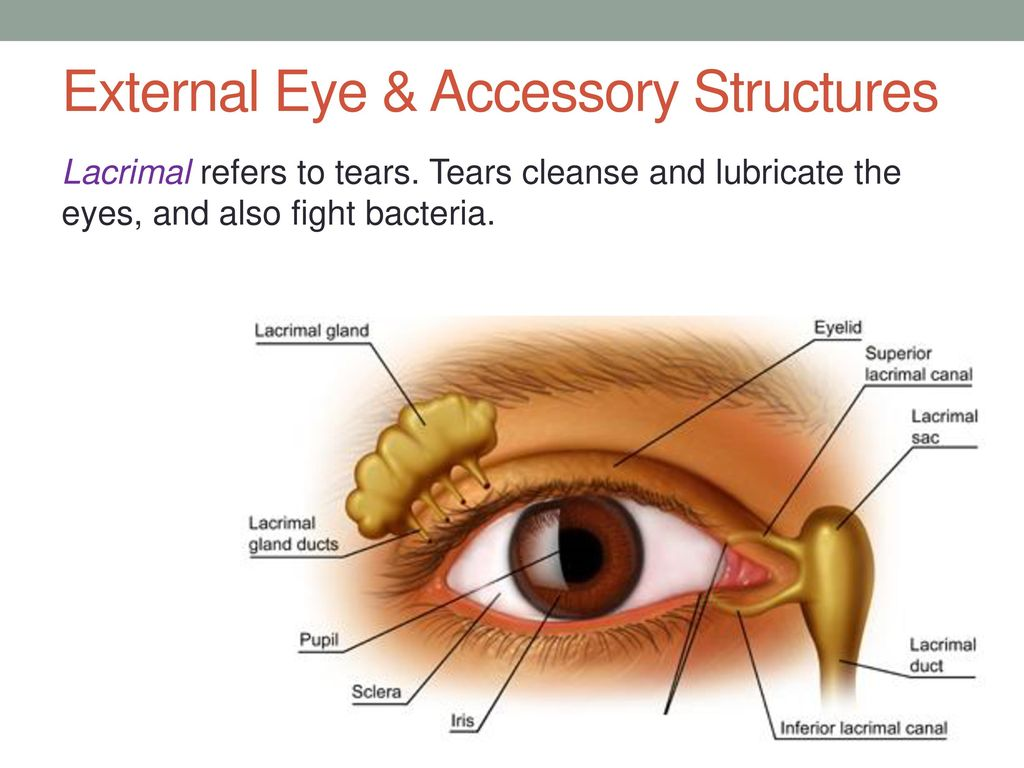Amazing Anatomy Of The External Eye Adornment Physiology Of Human