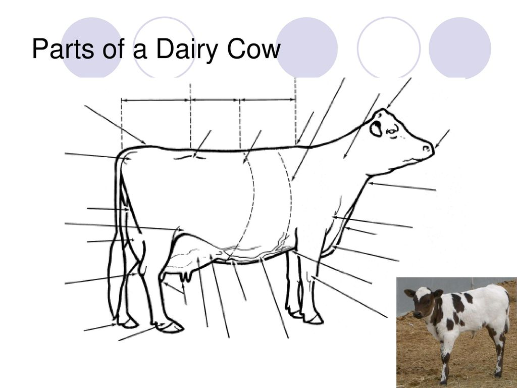 Luxury Anatomy Of Cow Udder Adornment - Physiology Of Human Body ...