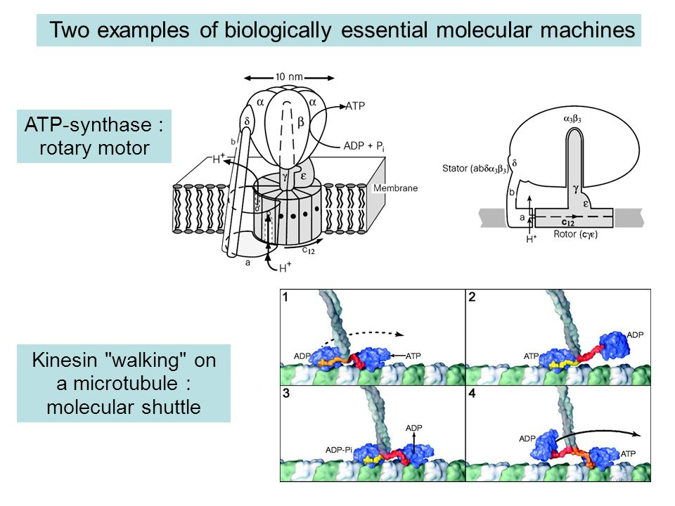 Two examples of biologically essential molecular machines