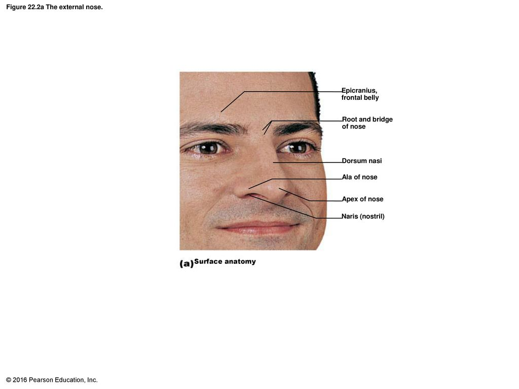 Nasal Anatomy External Image collections - human body anatomy