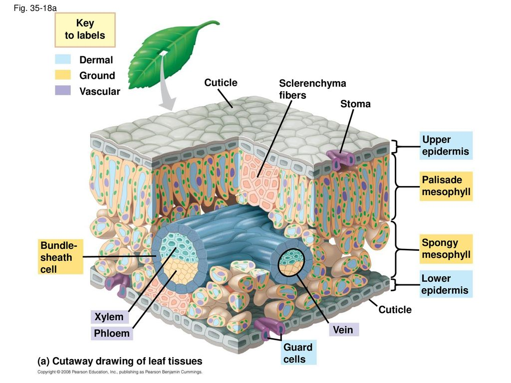 Fine Leaf Tissue Anatomy Inspiration - Anatomy Ideas - yunoki.info