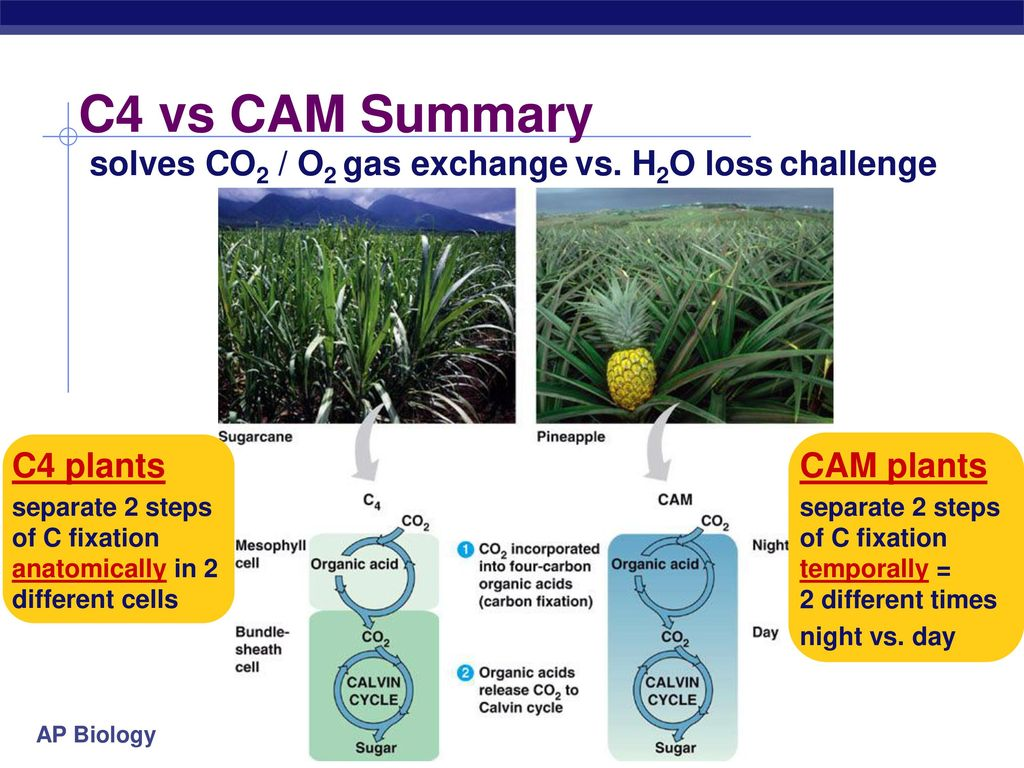 Modern C4 Plant Anatomy Inspiration Anatomy And Physiology Tissue