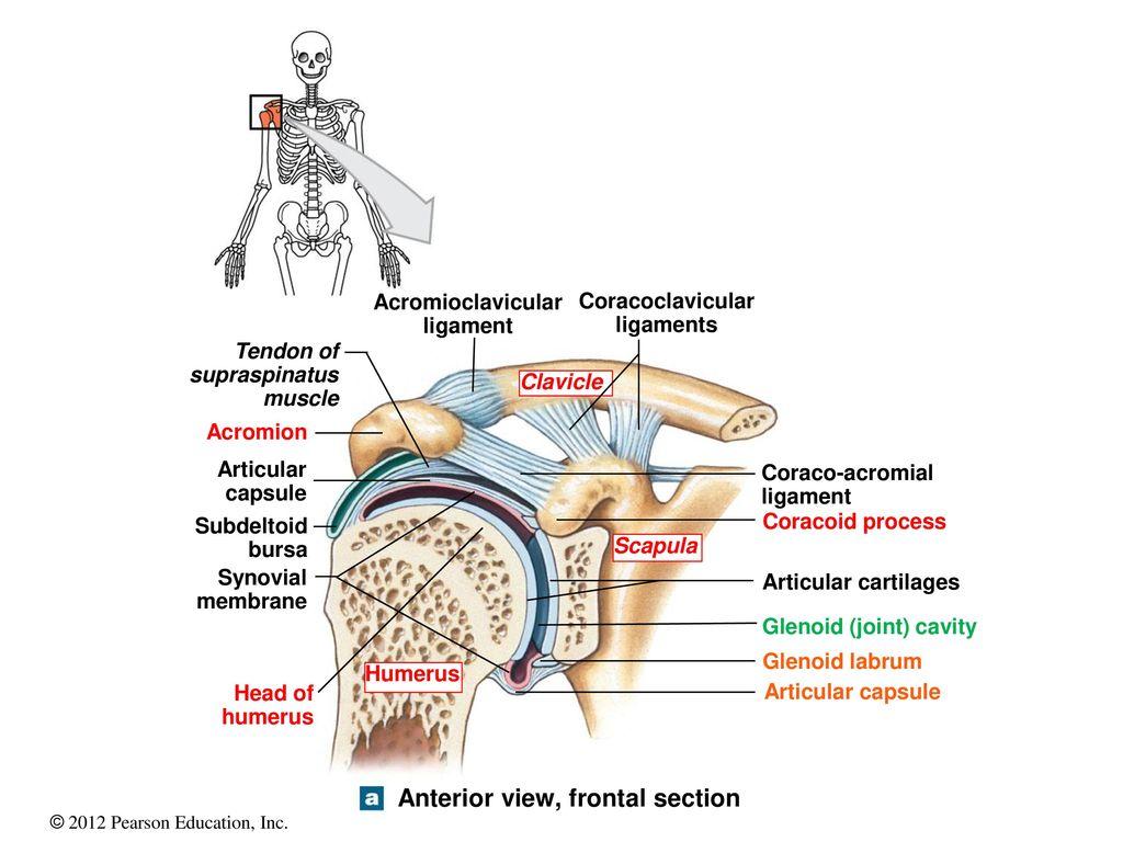 Contemporary Labrum Shoulder Anatomy Ideas - Anatomy Ideas - yunoki.info