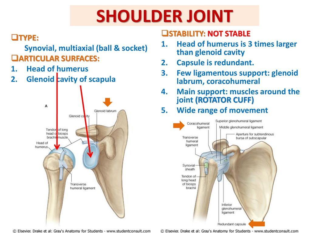 Beautiful Ligaments Of The Shoulder Joint Component - Anatomy Ideas ...
