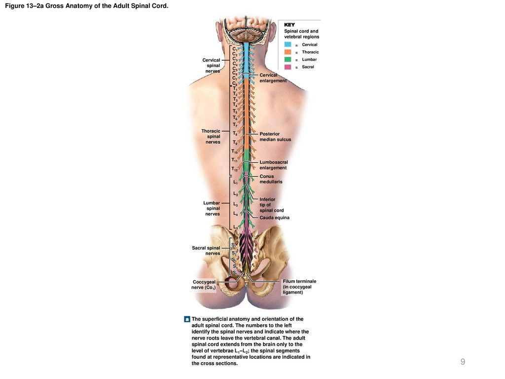 Ungewöhnlich Anatomy And Physiology Of The Spine Fotos - Anatomie ...