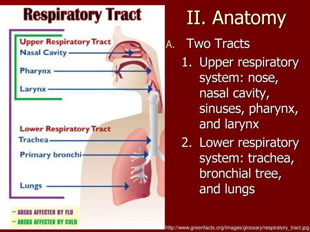 Nice Upper Respiratory System Vignette - Anatomy and Physiology ...