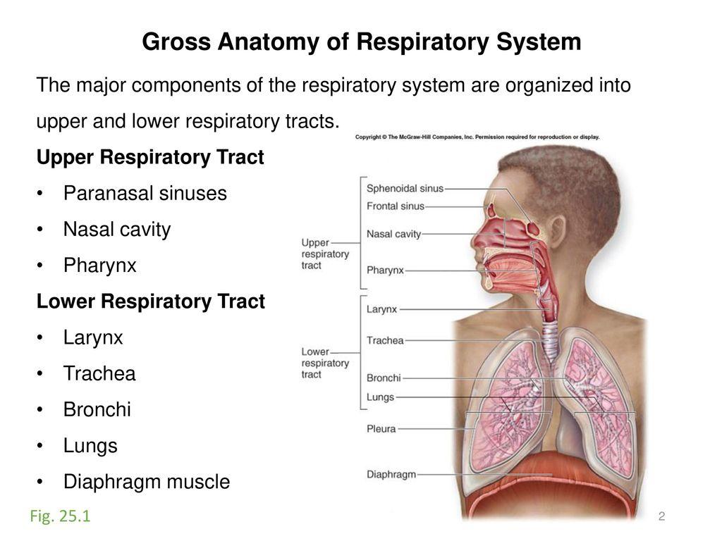 Luxury Anatomy Of The Respiratory Tract Crest Human Anatomy Images
