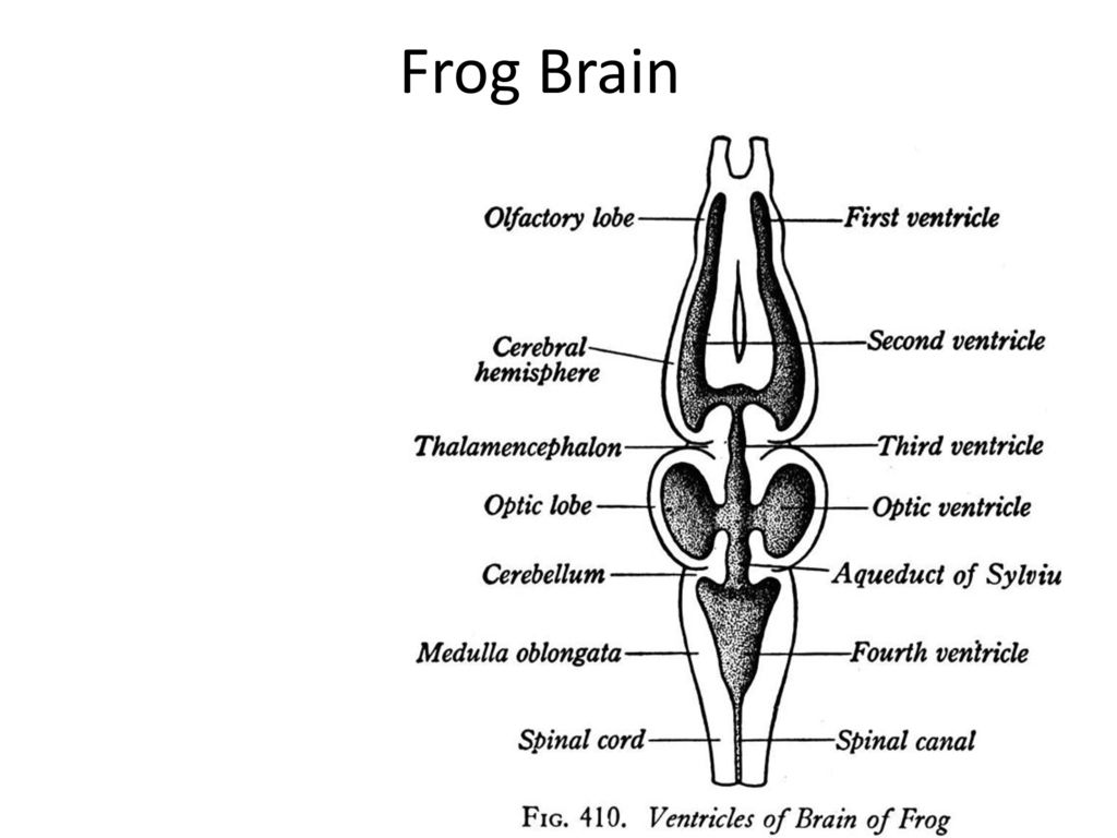 Frog Brain Dissection Diagram - Wiring Diagram •