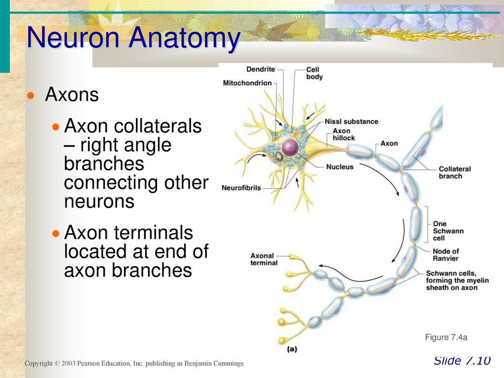 Dorable Neuron Anatomy And Physiology Answer Key Photos - Anatomy ...