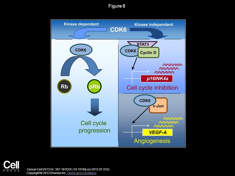 Figure 8 Schematic Representation of the Kinase-Dependent and the Noncanonical Kinase-Independent Functions of CDK6.