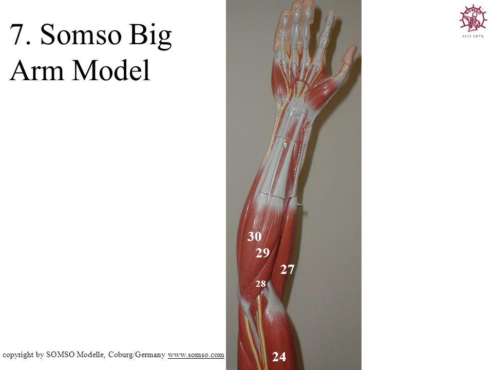 7. Somso Big Arm Model 30 29 27 28 copyright by SOMSO Modelle, Coburg/Germany www.somso.com 24