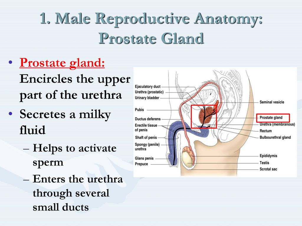 Tolle Anatomy And Physiology Of Prostate Gland Pdf Bilder ...