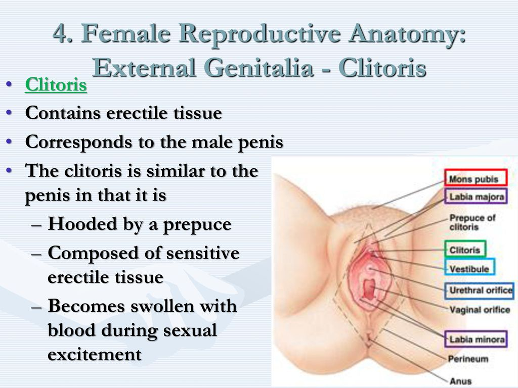 Nice Female Anatomy Vestibule Picture Collection - Physiology Of ...