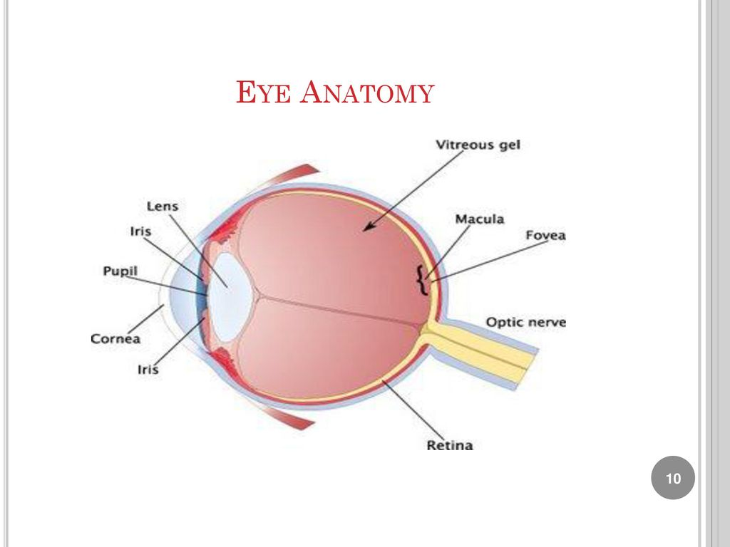 Großartig Anatomy And Physiology Of Eyes Ideen - Physiologie Von ...