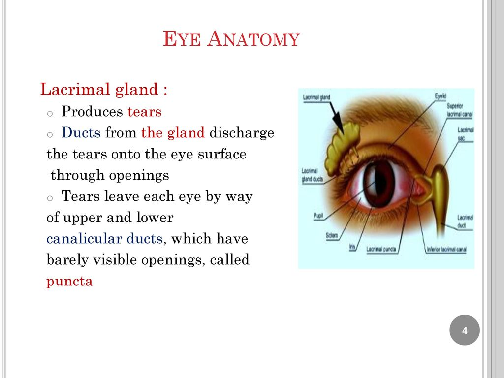 Luxury Surface Anatomy Eye Ornament - Anatomy Ideas - yunoki.info
