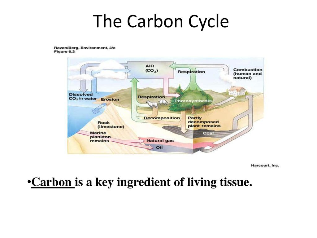 The Carbon Cycle Carbon is a key ingredient of living tissue.