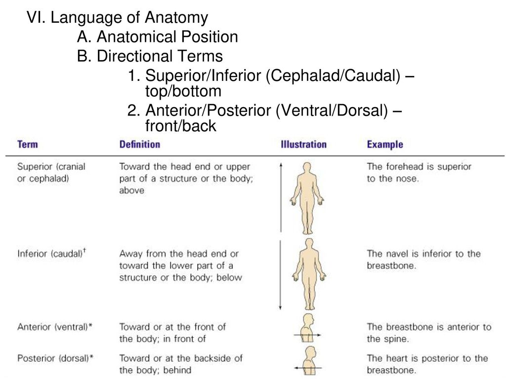 Awesome Definition Of Dorsal In Anatomy Inspiration - Anatomy Ideas ...