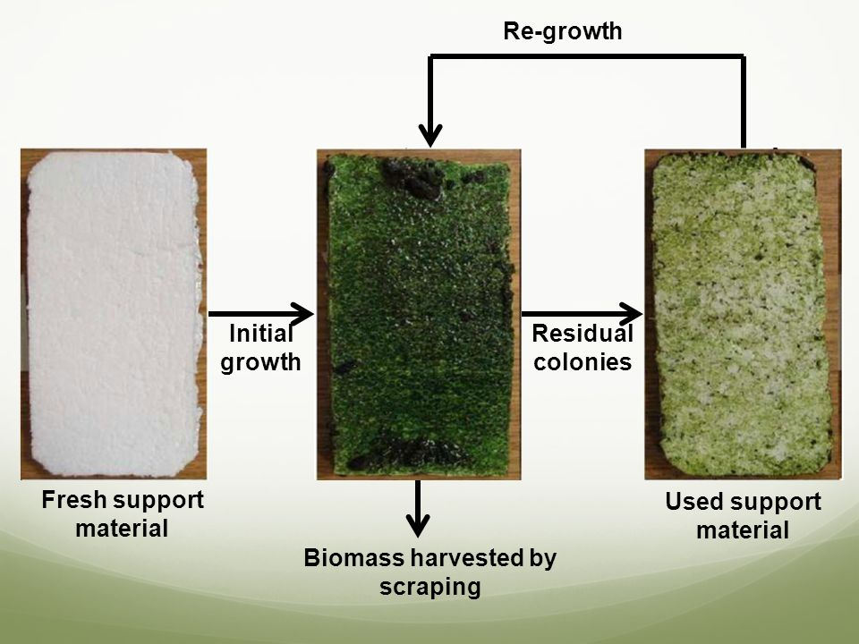 Fresh support material Biomass harvested by scraping