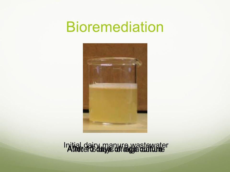 Bioremediation Initial dairy manure wastewater
