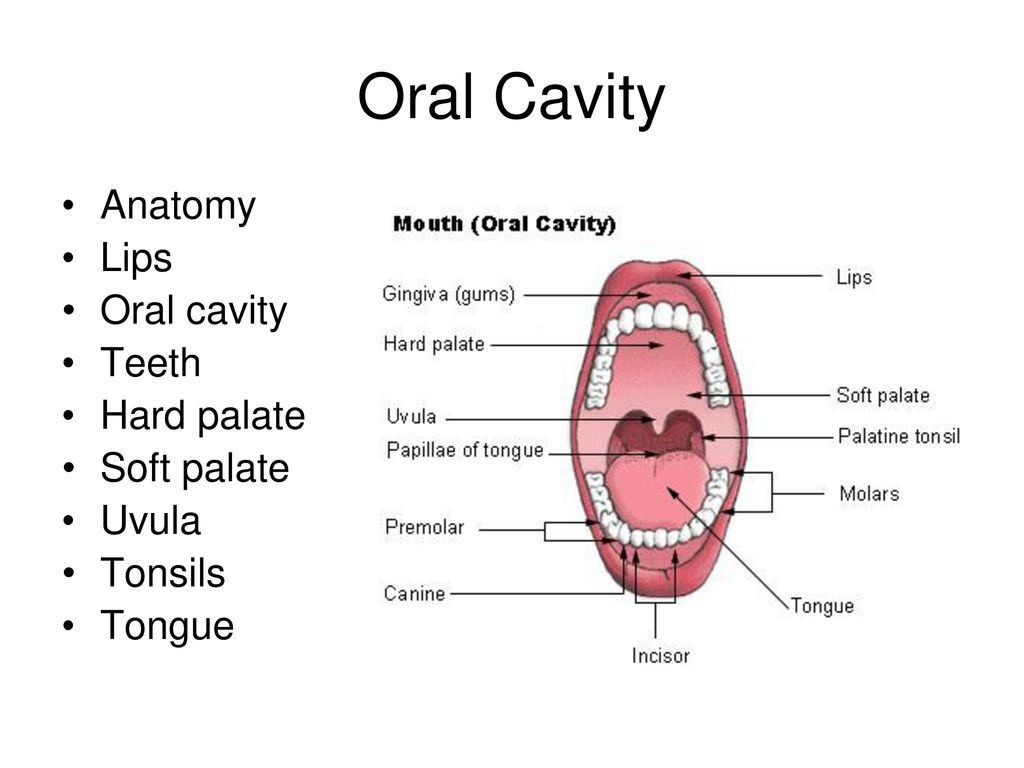 Magnificent Anatomy Of Lips Frieze - Anatomy Ideas - yunoki.info