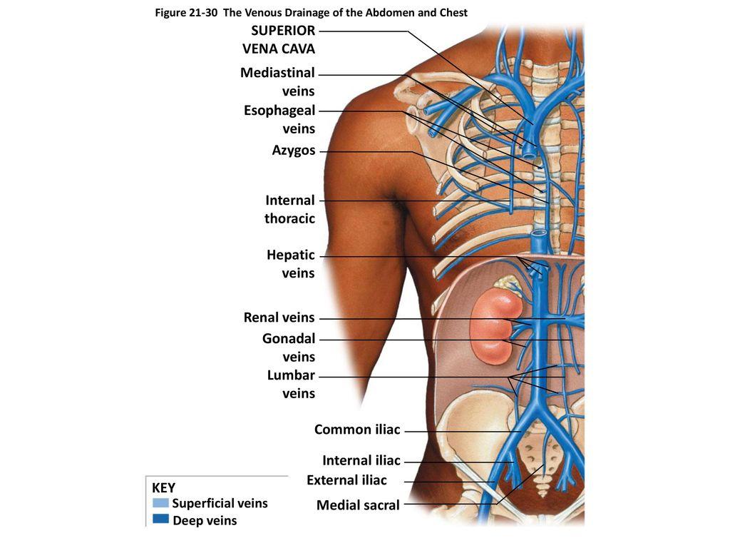 Fein Gonadal Vein Anatomy Ideen - Anatomie Und Physiologie Knochen ...