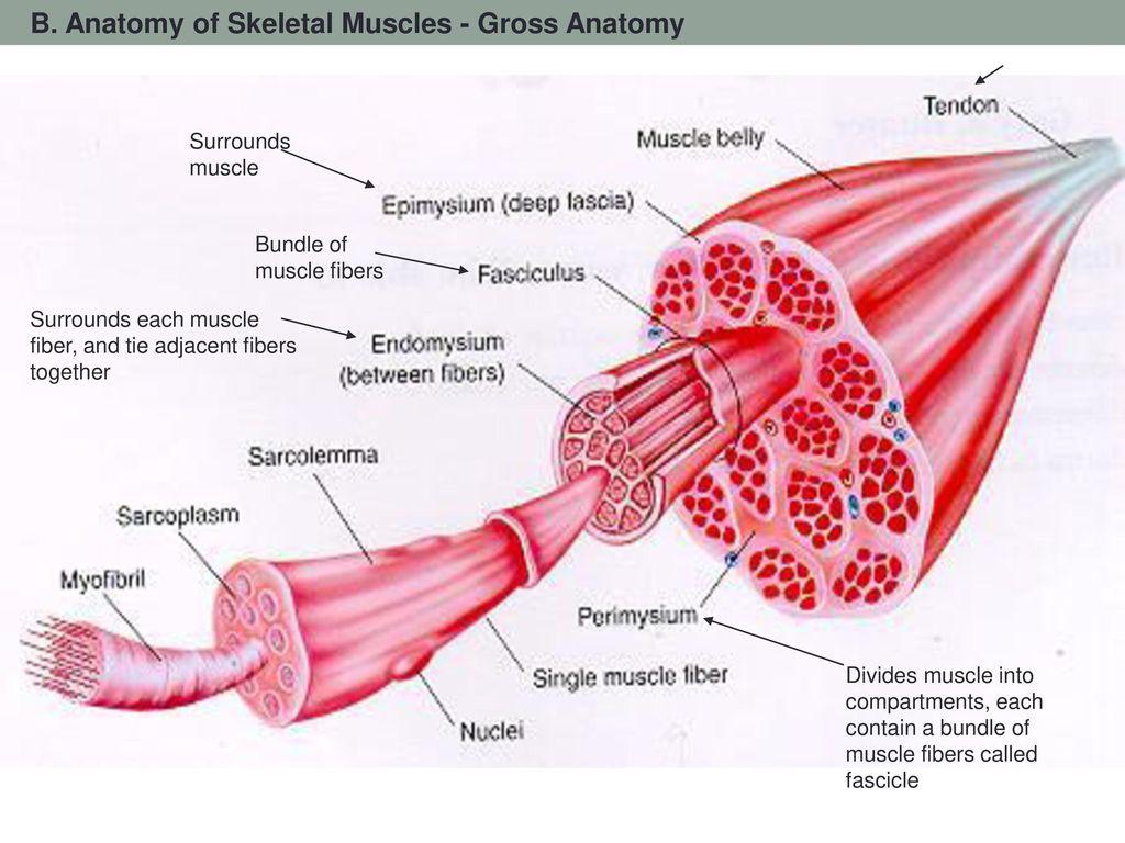 Famous Gross Anatomy Of Skeletal Muscles Ideas Anatomy Ideas