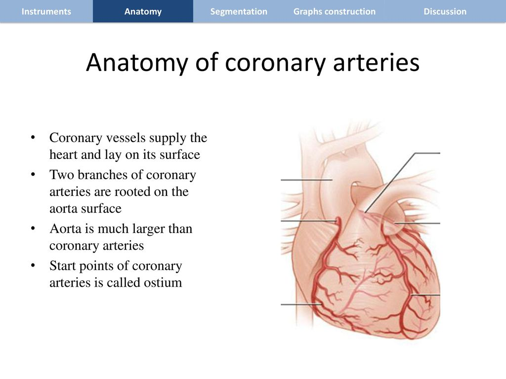 Colorful Coronary Vessels Anatomy Frieze - Human Anatomy Images ...