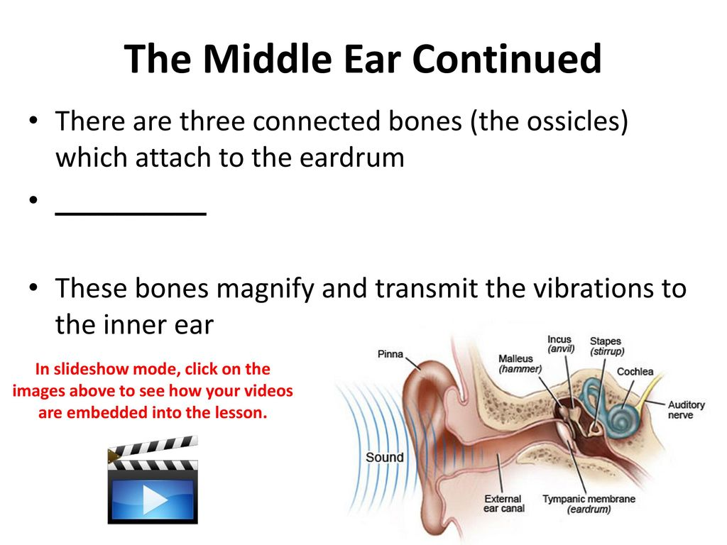 Dorable Middle Ear Bones Ensign - Anatomy and Physiology Tissue ...