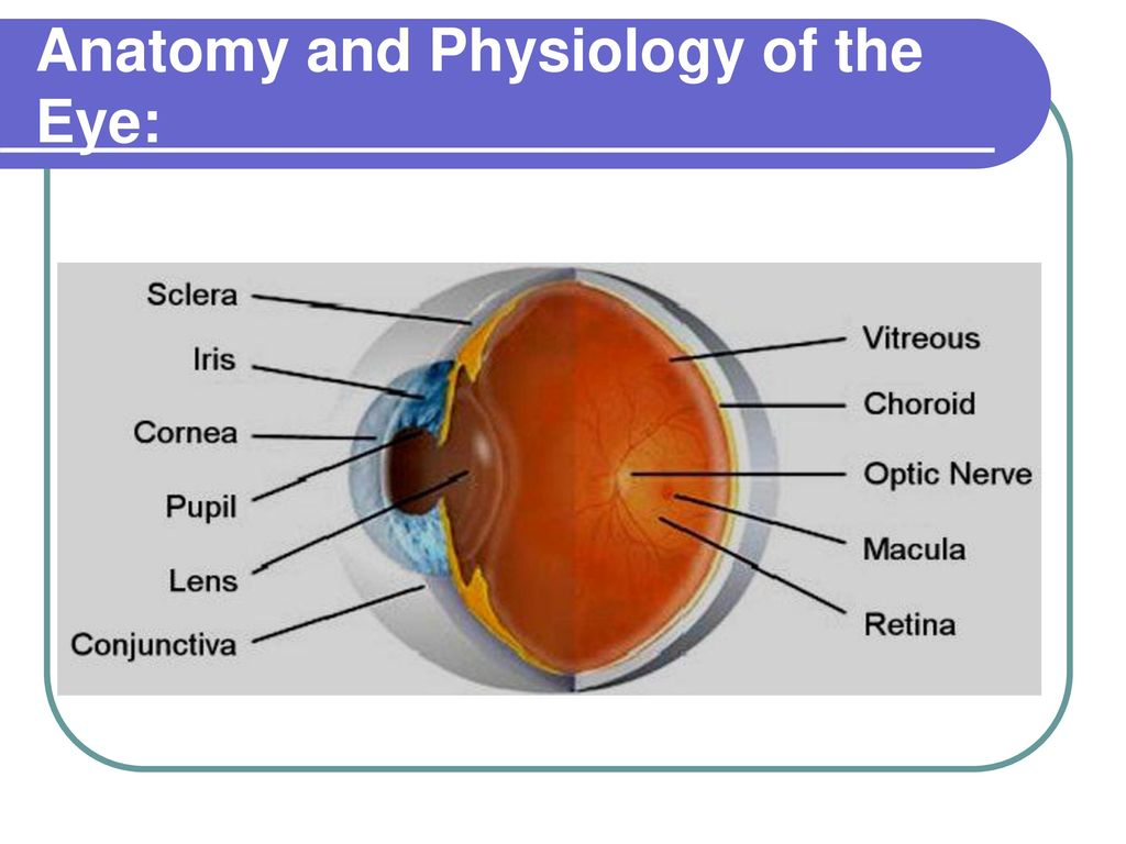 Attractive The Eye Anatomy And Physiology Sketch - Physiology Of ...