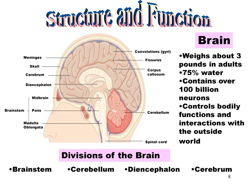 Famous Corpus Callosum Function Pictures - Physiology Of Human Body ...