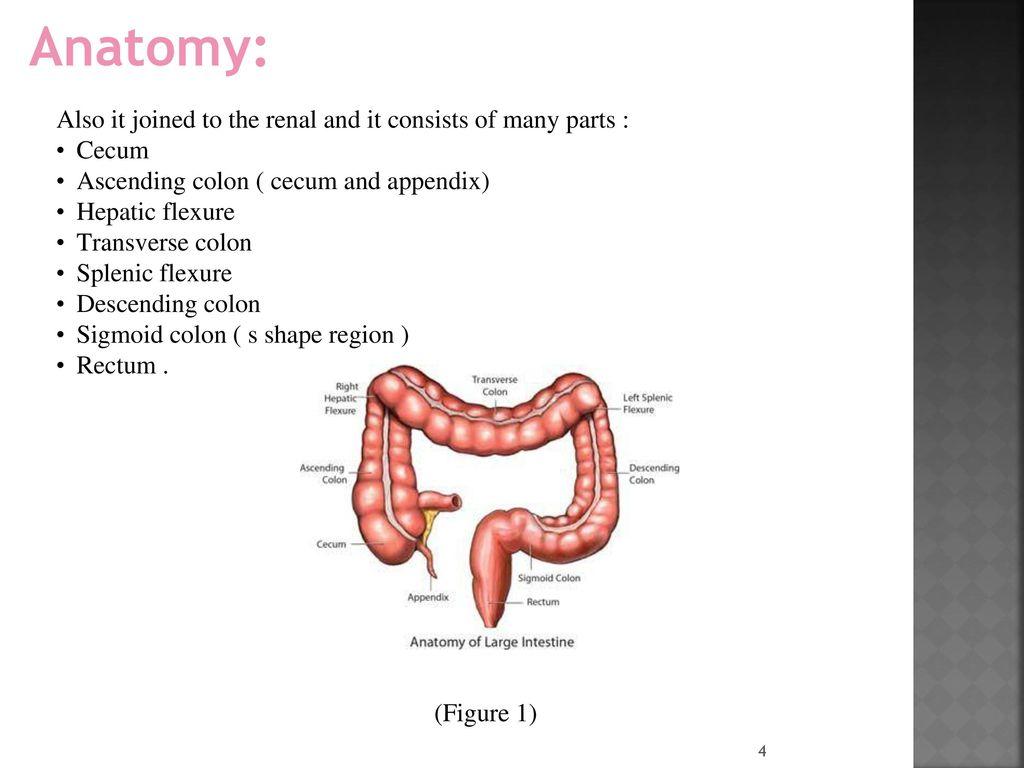 Ungewöhnlich Anatomy And Physiology Of Colon Fotos - Anatomie Ideen ...