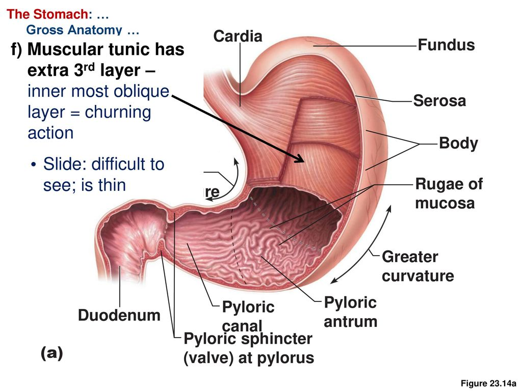 Outstanding Anatomy And Physiology Of Stomach Model - Anatomy and ...