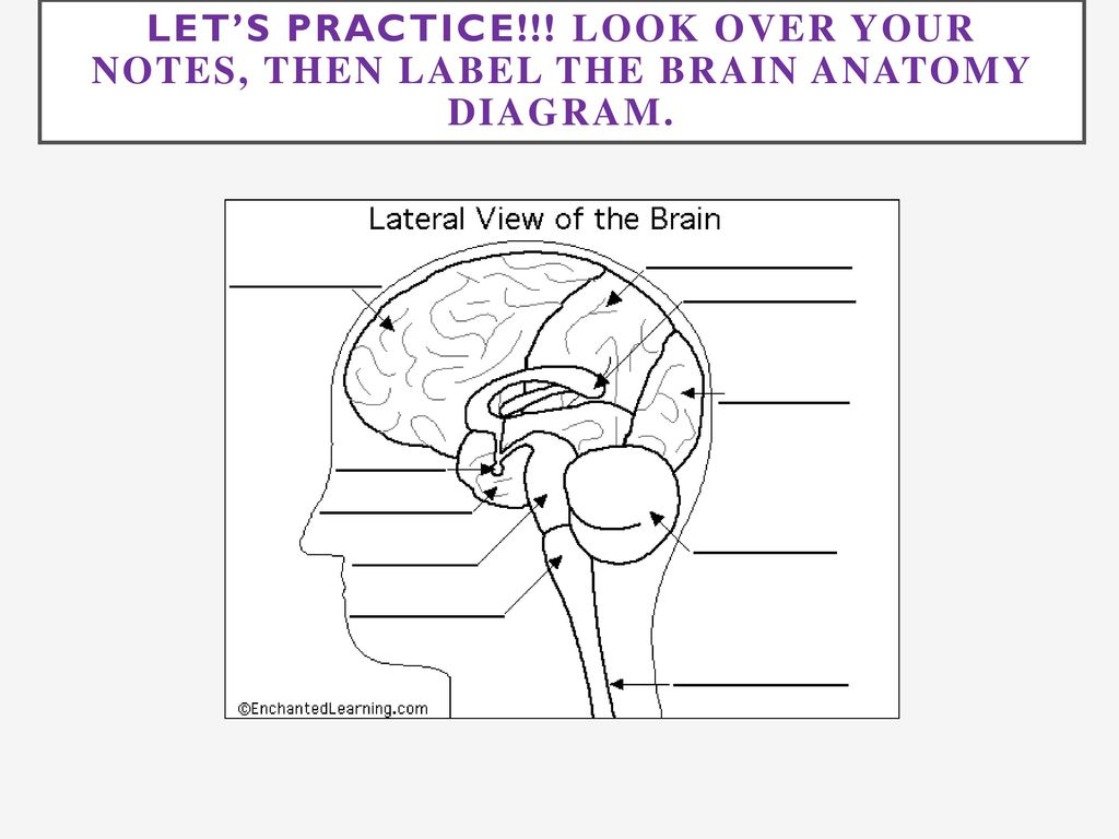 Old Fashioned Label The Brain Anatomy Diagram Ornament - Physiology ...