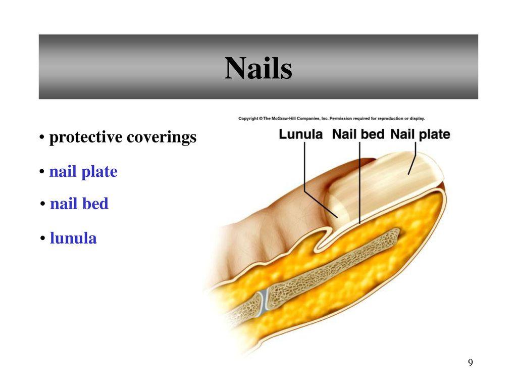 Old Fashioned Nail Bed Anatomy Images Nail Art Ideas Morihati