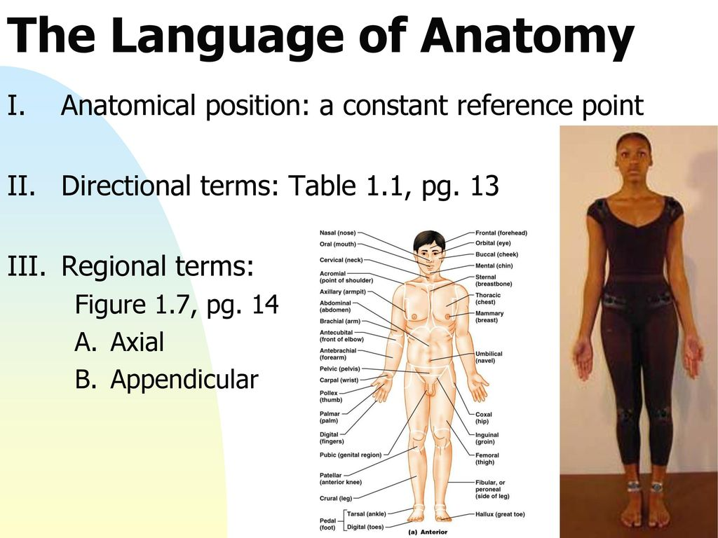 Anatomy Regional Terms Image collections - human body anatomy