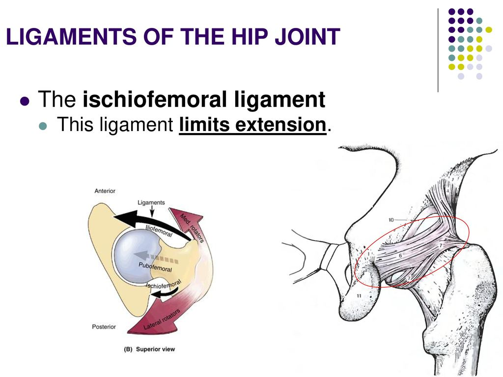 Amazing Hip Ligaments Anatomy Ideas Human Anatomy Images