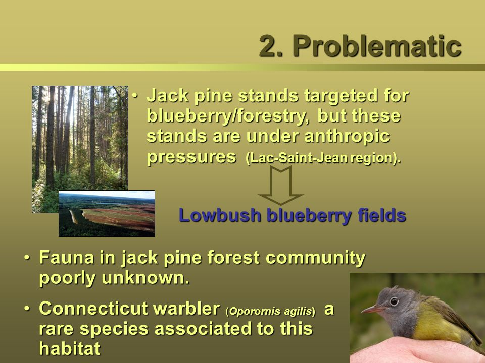 2. Problematic Jack pine stands targeted for blueberry/forestry, but these stands are under anthropic pressures (Lac-Saint-Jean region).