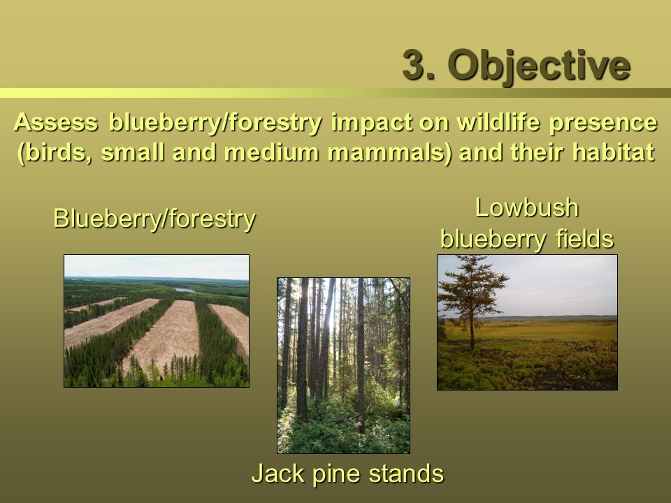 Lowbush blueberry fields