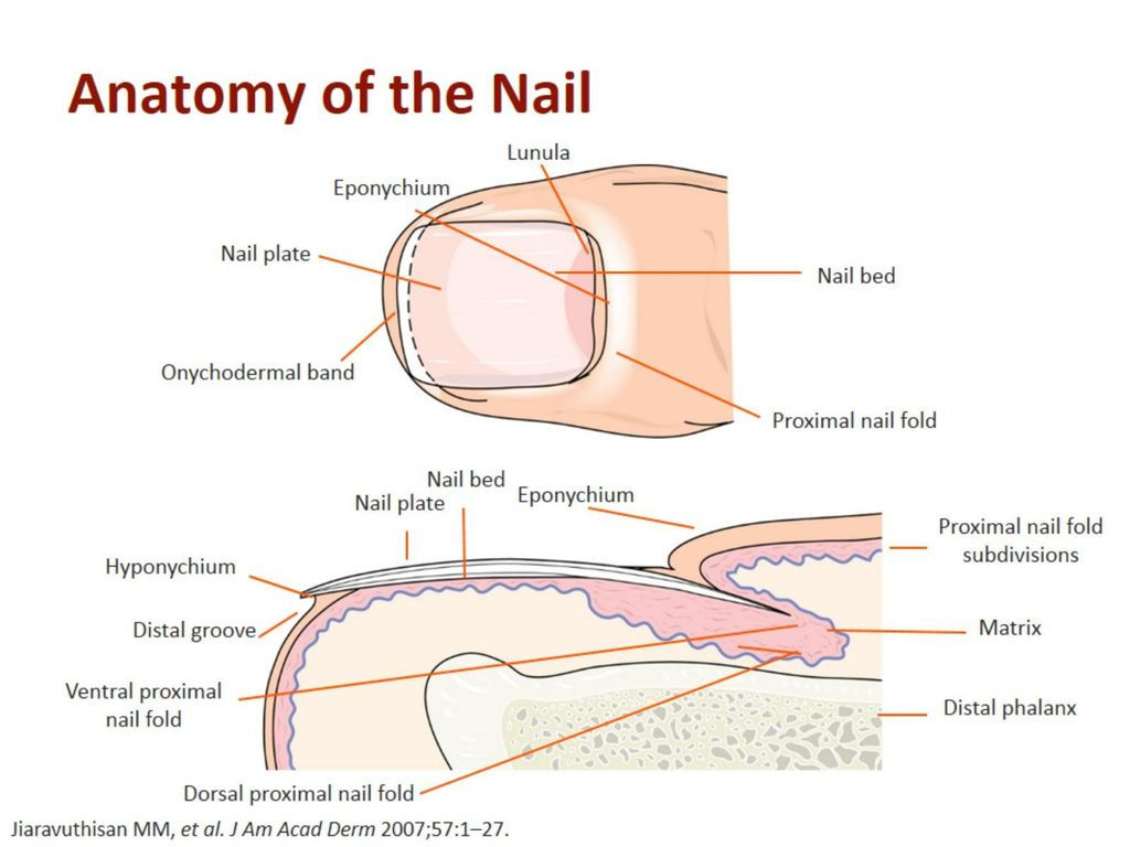 Dorable Anatomy Of Nail Bed Adornment - Physiology Of Human Body ...