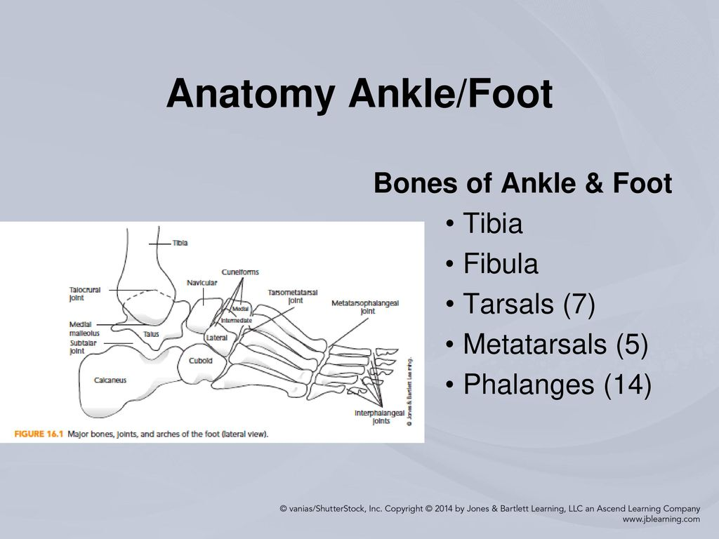 Fine Foot Anatomy Bones Joints Mold - Physiology Of Human Body ...