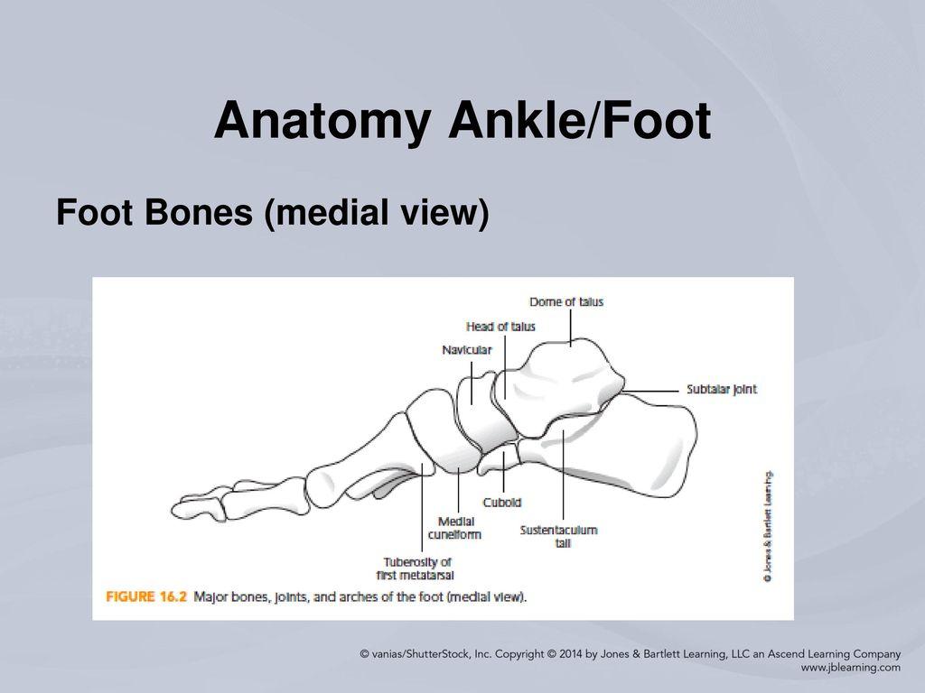 Contemporary Mri Anatomy Of Ankle Pictures - Anatomy Ideas - yunoki.info