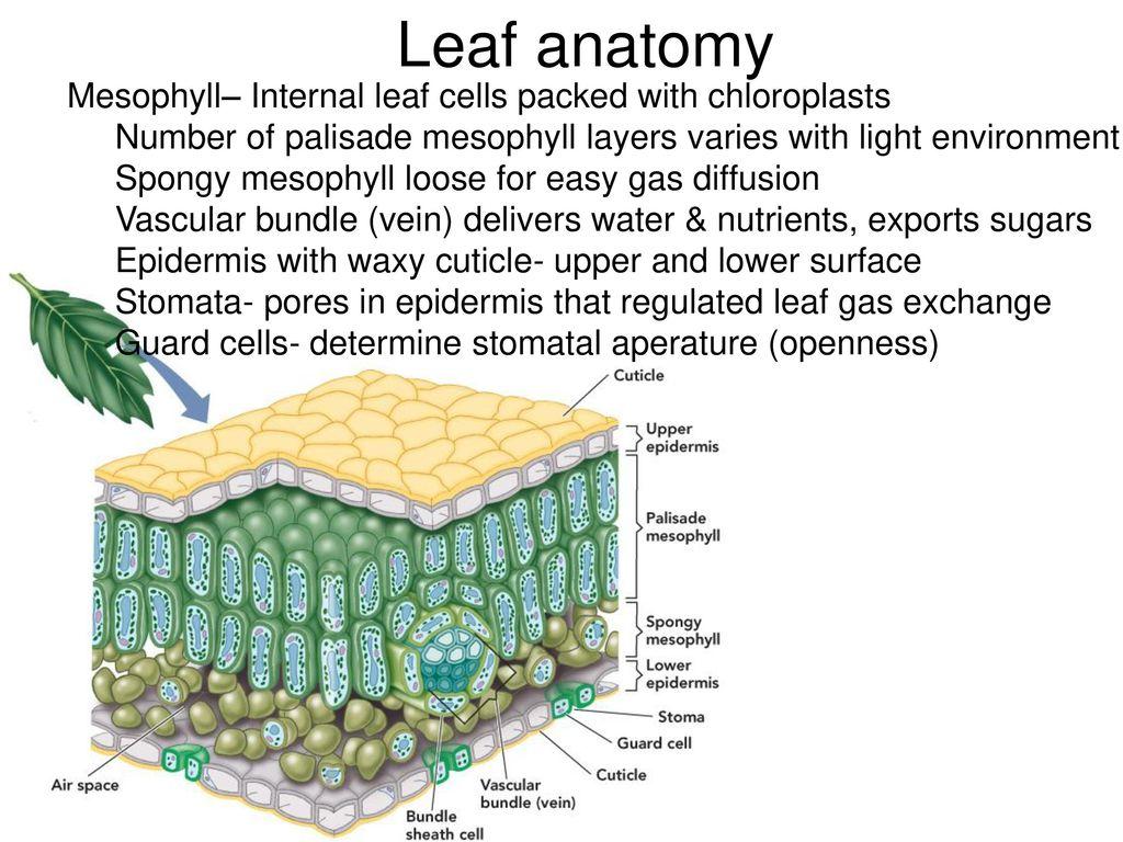 Luxury Internal Leaf Anatomy Adornment - Physiology Of Human Body ...