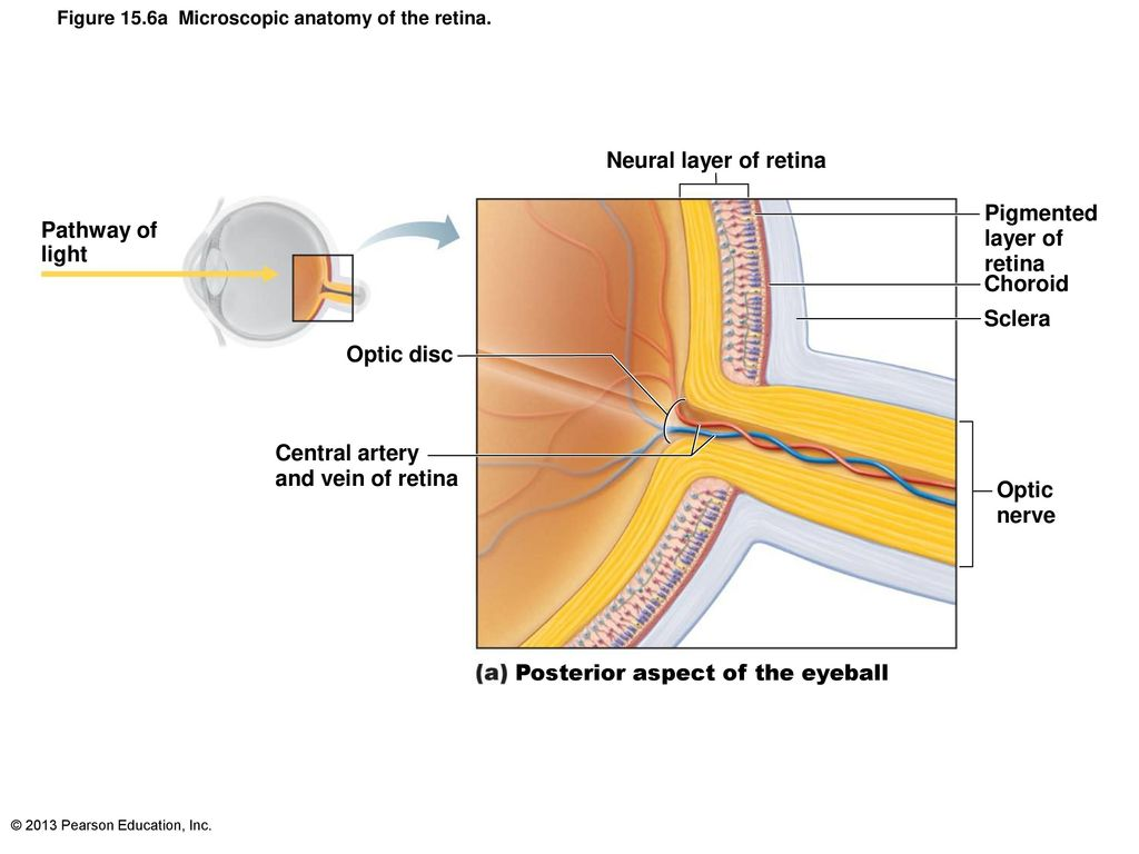 Fine Retinal Vessels Anatomy Ensign - Anatomy and Physiology Tissue ...